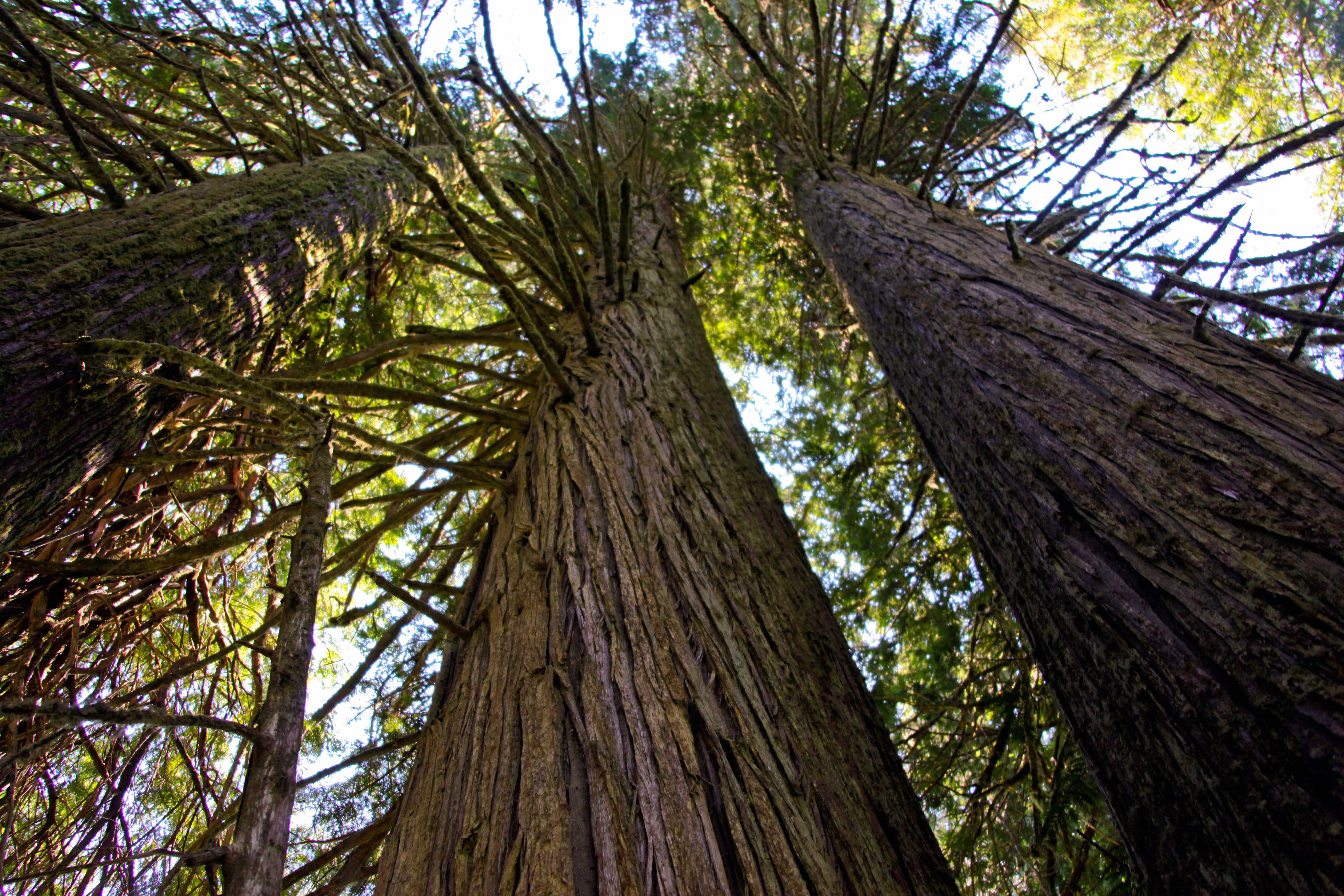 Pictures of cedar trees - Large Cedar Trees Grove Of Patriarchs Mt Rainier Lower Res July 9 2012