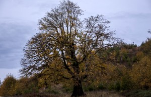 Old Maple Tree on Mox Chehalis Road near Malone WA 10-25-12