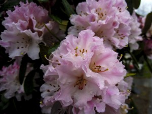 First Rhodie lower res large 3-16-13