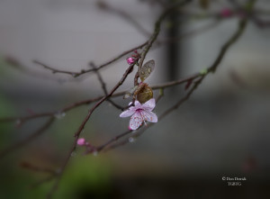 First flowering plum blossom 2-14-15